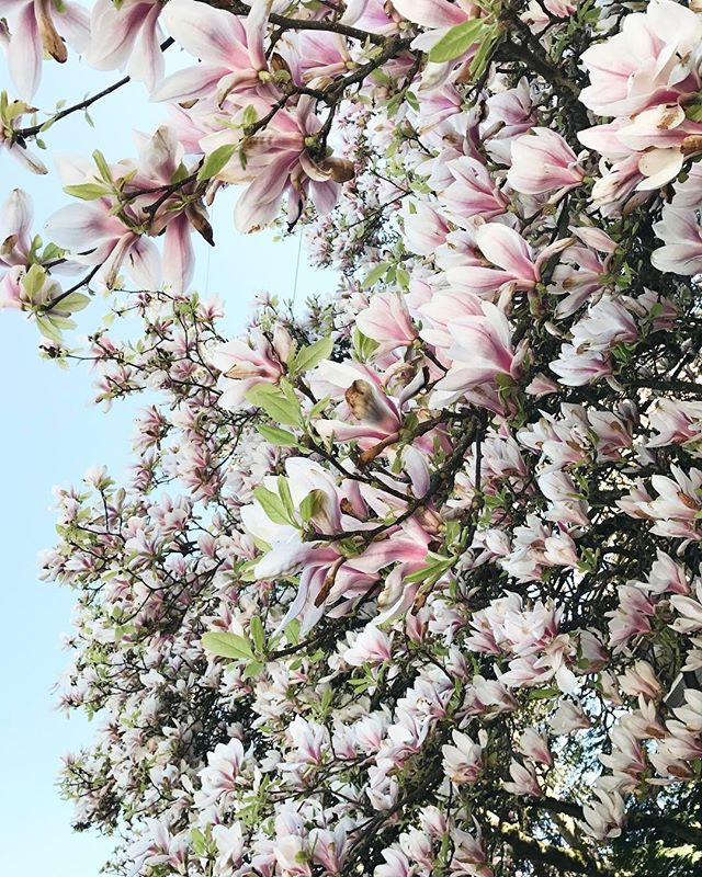 A Seattle postcard from our founder @veronicavalencia 🍃 Send her over any recommendations of cafés, restaurants or shops to check out. They are staying by Green Lake and clearly brought the Cali weather. It's 60, sunny and the magnolias are having a raging party today! ☀️ @thefloralhunters #seasonslikethese #howwegather