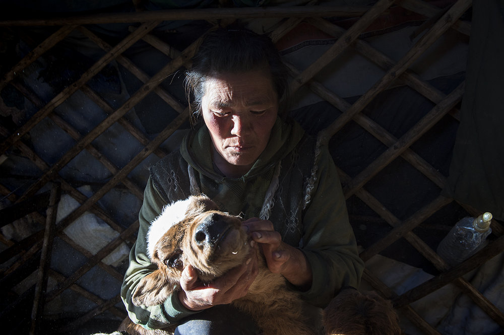 Doljin, Mongolian herder, holds her dying calf inside her ger in Zavkhan province, northwest Mongolia on April, 2016.