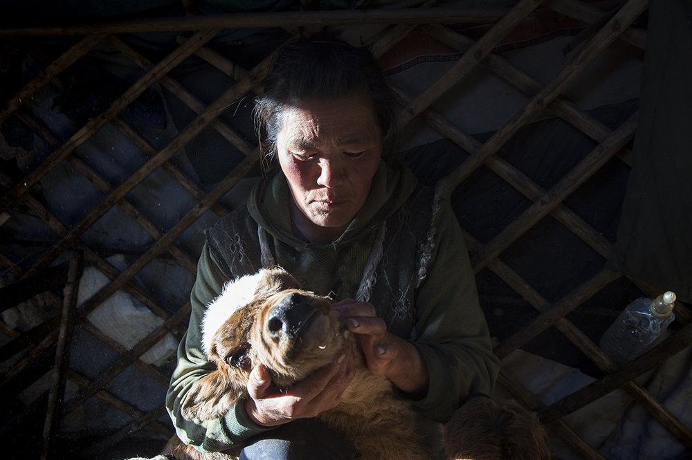 Doljin, Mongolian herder, holds her dying calf inside her ger in Zavkhan province, northwest Mongolia on April, 2016.