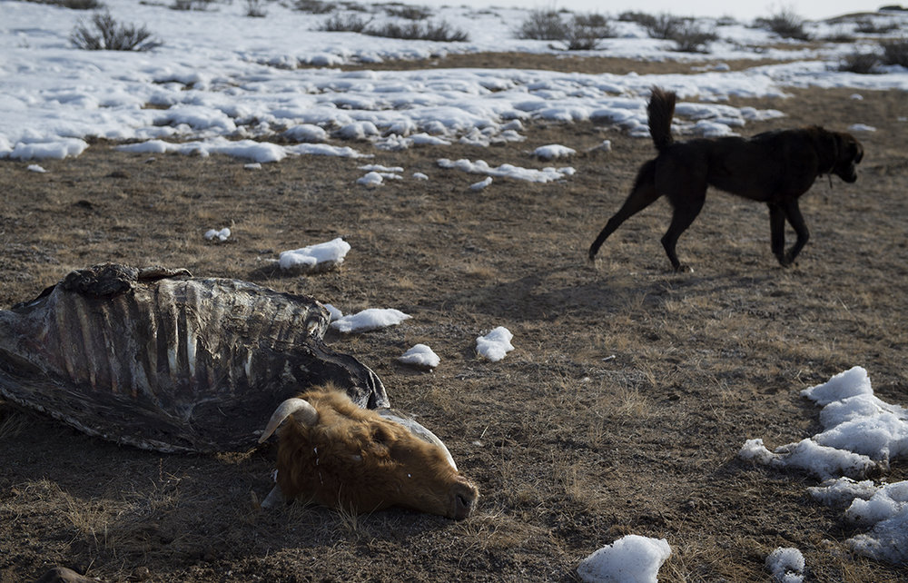The Byambasurengiin sisters' dog eats meat off the dead bodies which the sisters keep in a pile a few minutes walk from their ger, on April 9, 2016.