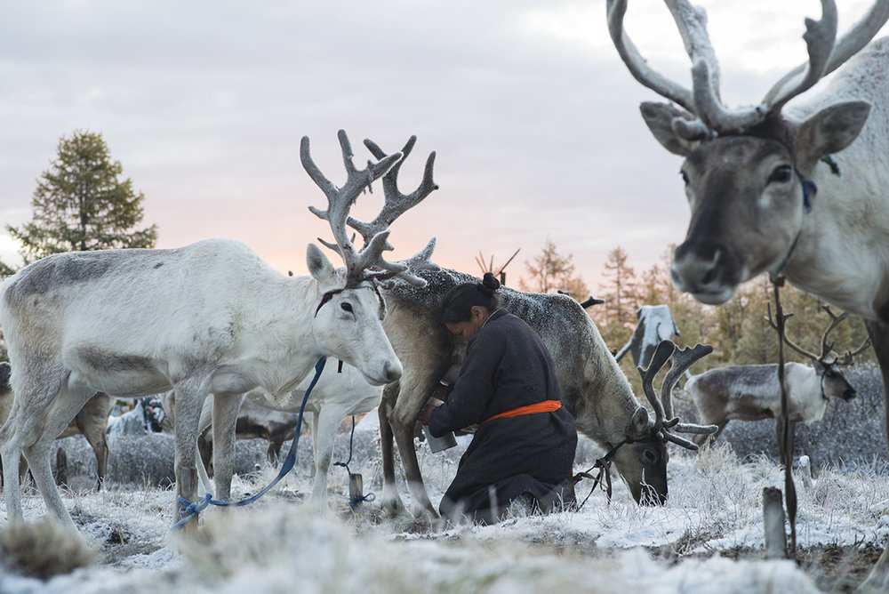 Ganbat (43) milks her reindeer at sunrise before her husband takes them to a forest to forage for food on September 18, 2015. Reindeer milk makes up an important part of the Tsaatan diet and reindeer's antlers are used to make handcrafts.