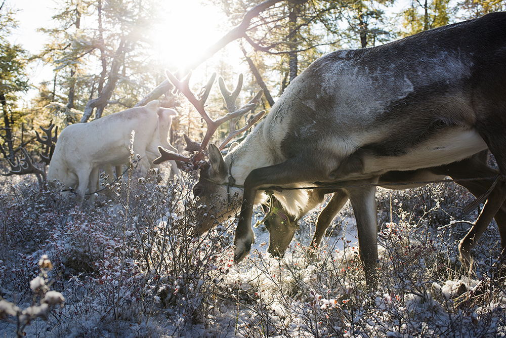 Shortly after sunrise reindeer forage for moss and other vegetation on a snow-covered forest near the Tsaatan community campsite. Their owner either ties them in a pair or ties their legs to limit their ability to run far from the campsite.