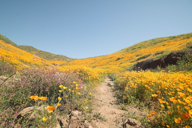 Superbloom. By Cdallen915 - Own work, CC BY-SA 4.0, https://commons.wikimedia.org/w/index.php?curid=57335138