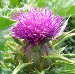 Milk_thistle_flower.jpg