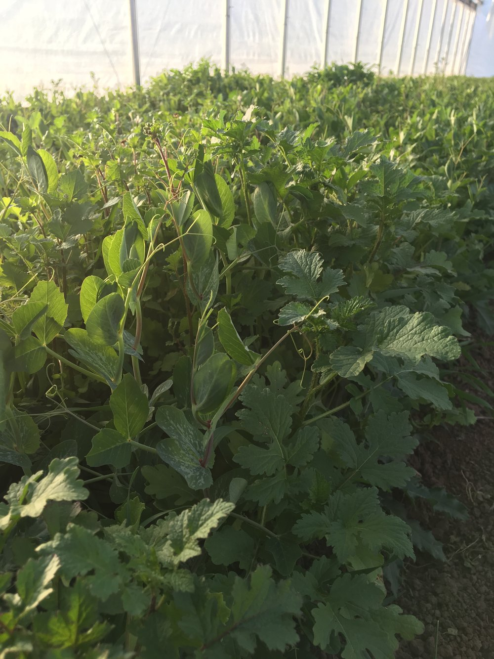 Cover crop mix growing in the high tunnel