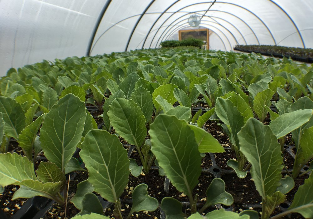 Brassicas doing their thing in the prop house
