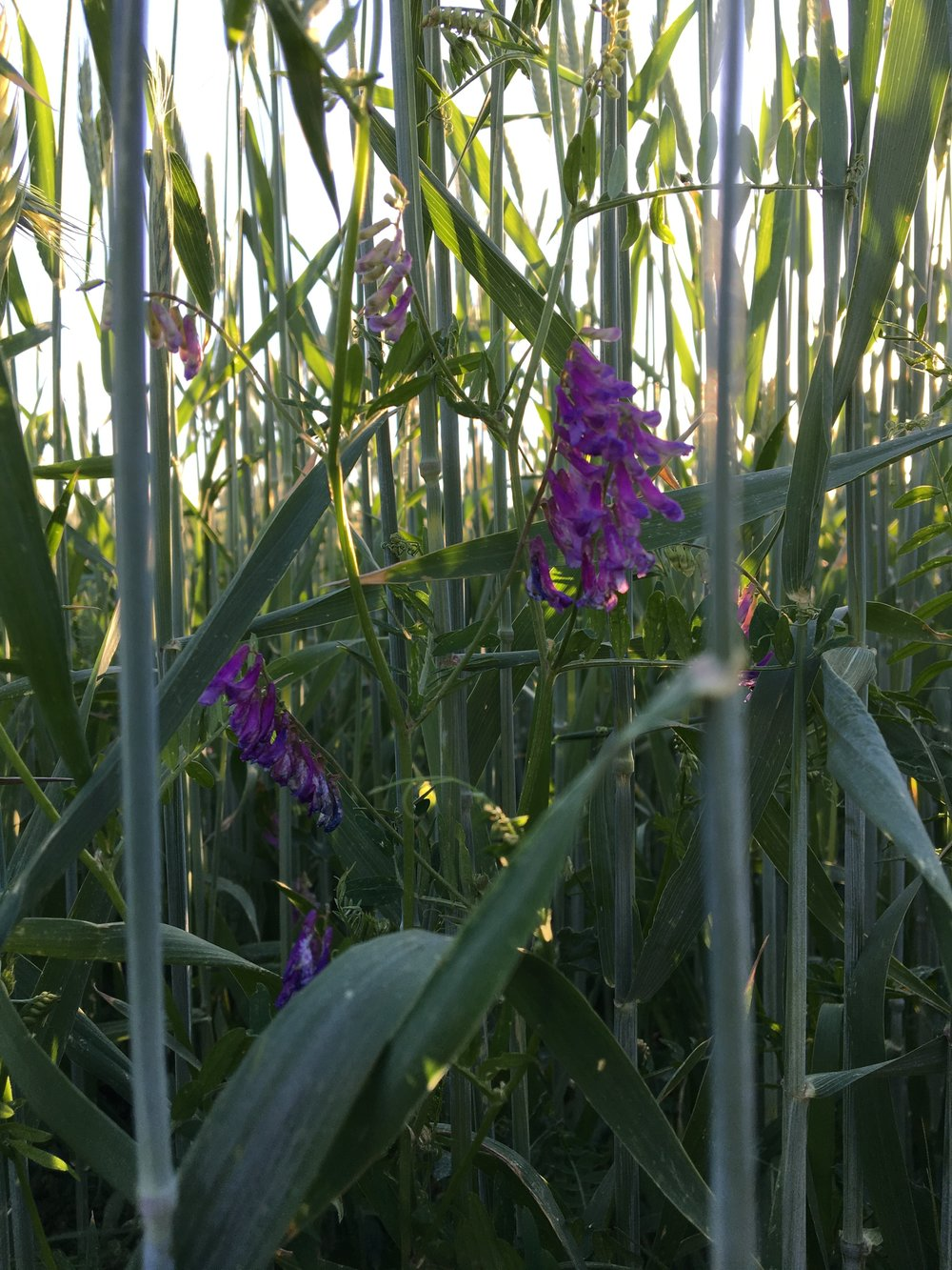 Blooming Vetch!! So gorgeous