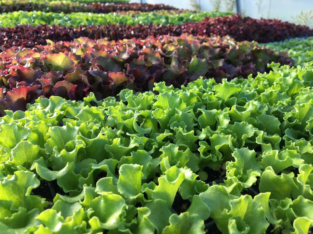 The next round of lettuces are ready to be transplanted.