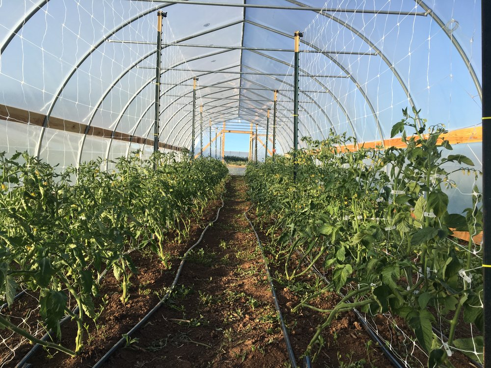 Tomatoes, freshly pruned and trellised!