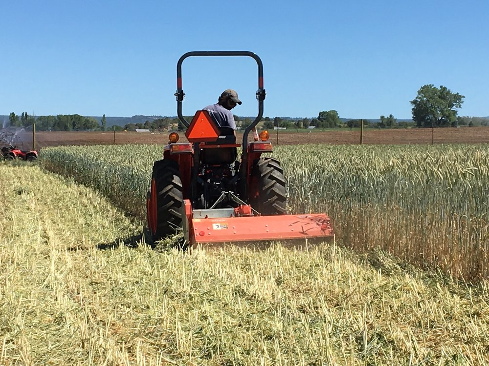 Flail mowing the cover crop with our neighbor's equipment!
