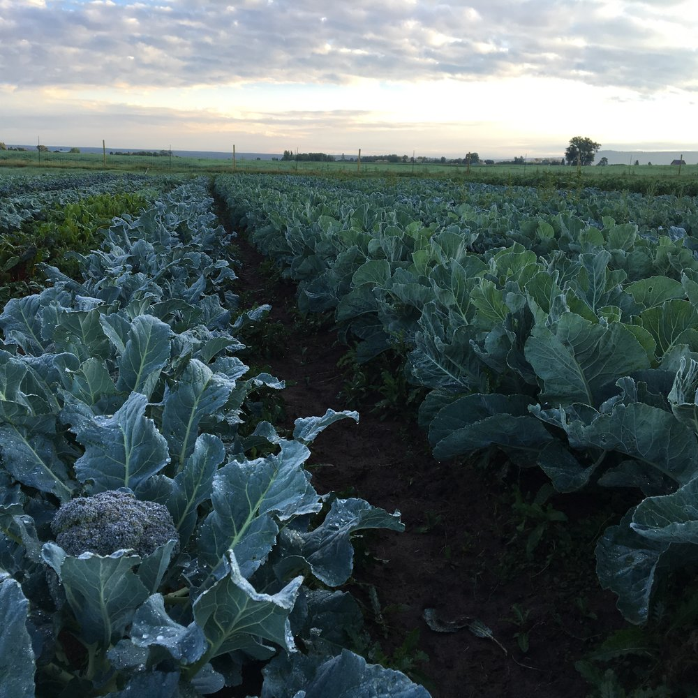 Brassica block looking extra happy, they're loving the clouds and cooler temps