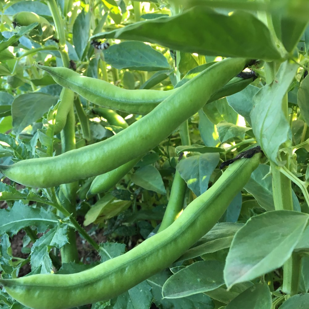 Fava Beans!