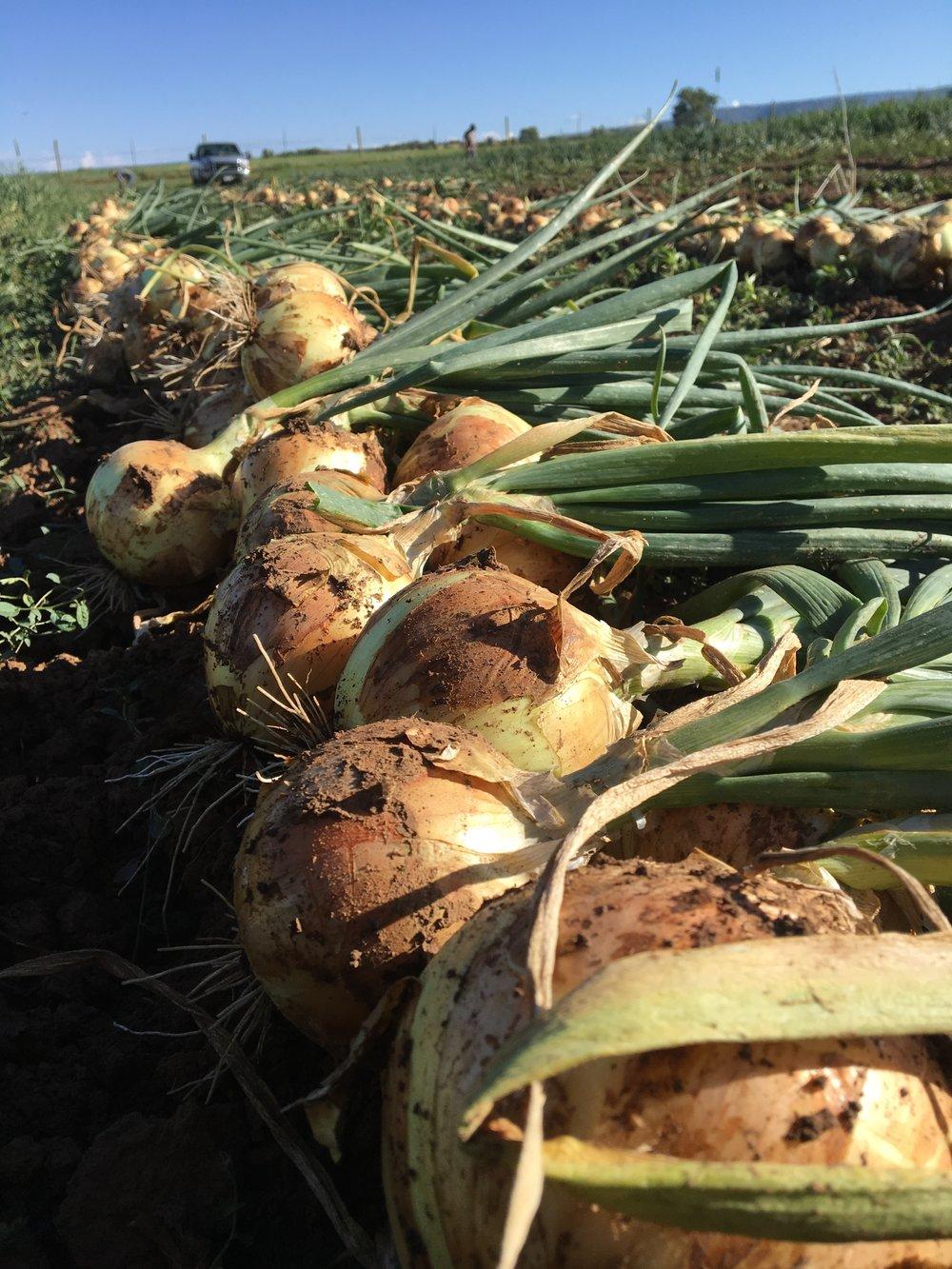 Storage Onion harvest on Thursday morning before the rain