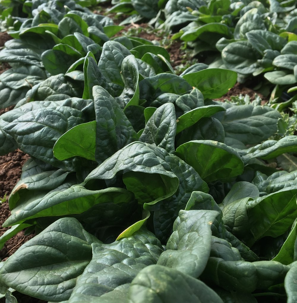Spinach is coming...