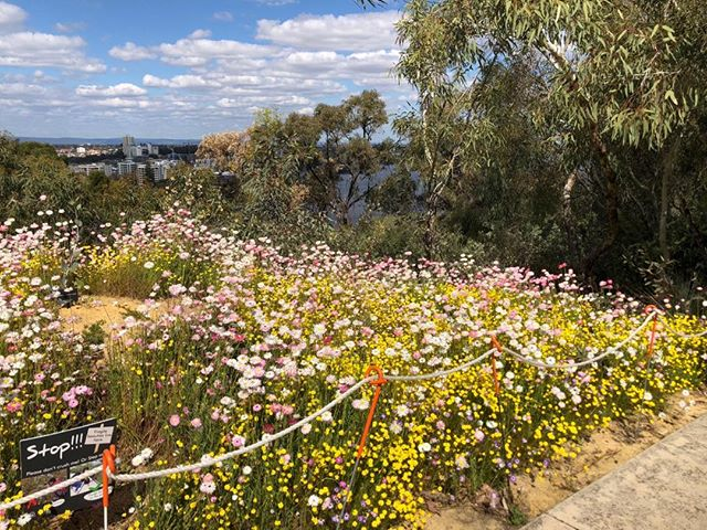 Spring Festival at Kings Park #luxuryoutbacktours #wawildflowers #kingspark