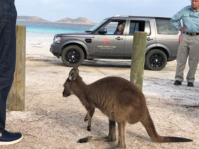 Kangaroos on Lucky Bay Beach #luxuryoutbacktours #luckybay #esperance #goldenoutback