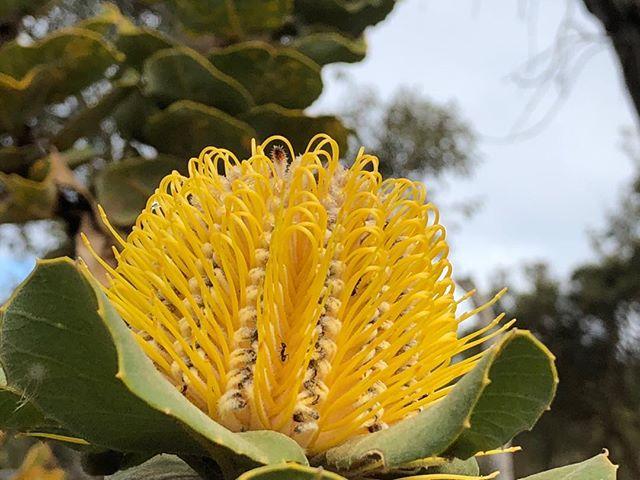 Rare Banksia coccinea