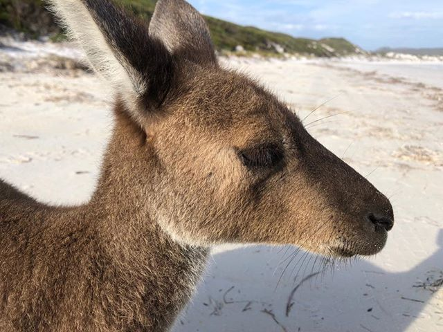 Personalised Tours allows our guests to be up close and personal with our beloved icons #luckybay #luxuryoutbacktours #esperance #capelegrand