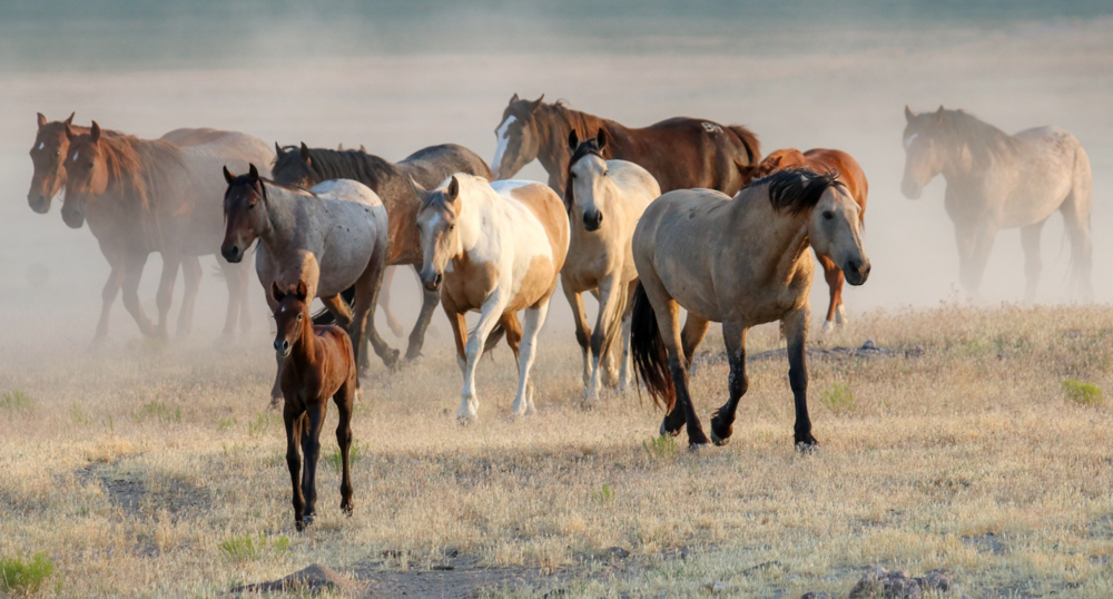 All photographs courtesy of American Wild Horse Campaign.