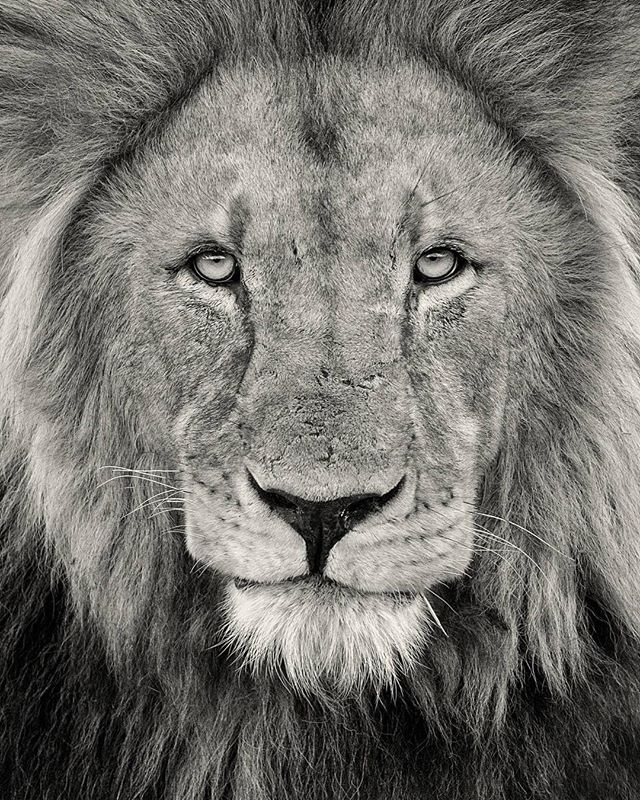 "For a limited time only, the incredible @bobanddawndavis will be offering up signed prints of this image titled ""The Lion"" for anyone who donates $150 or more to Thirst Relief. All you have to do is email them proof of your donation and let them know what size print you'd like, up to 24 x 36, and whether you'd like color or black and white and they will send you this beautiful piece of art! We are so humbled by their generosity and we hope you take advantage of this amazing offer! The email address to send your proof to is bob@bobanddawndavis.com. Link to donate in profile!"