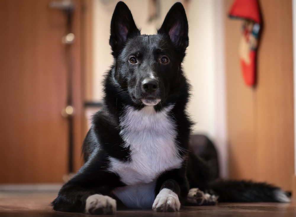 Black and White Border Collie Shepherd Mix Dog Portrait