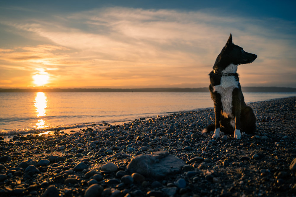 Black and White Border Collie Dog Majestic Portrait at Sunset on the Beach in Seattle