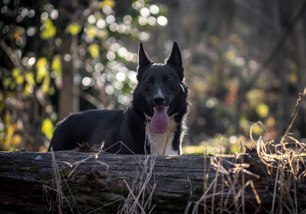 Black and White Border Collie Shepherd Mix in the Outdoors