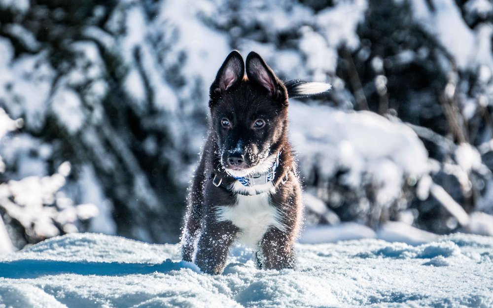 Black and White Border Collie Shepherd Puppy Dog in the Snow