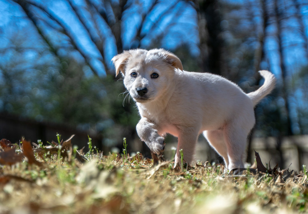 White Lab Puppy Prancing in Grass Outside Portrait