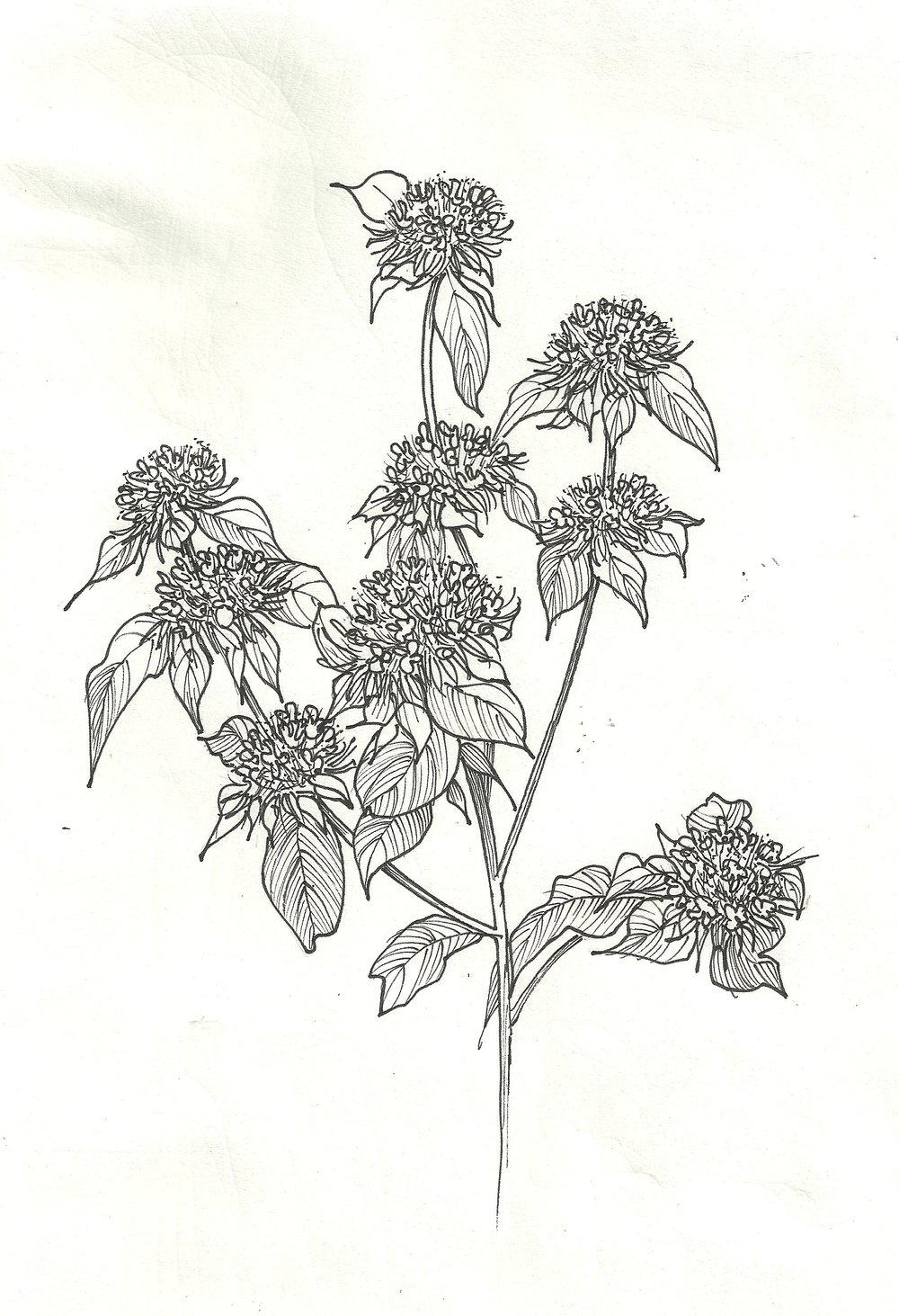 Bee Balm Illustration.jpg