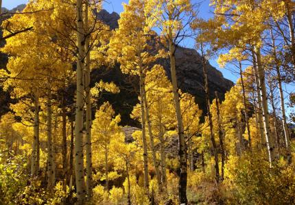 Quaking Aspens Ebbetts Pass