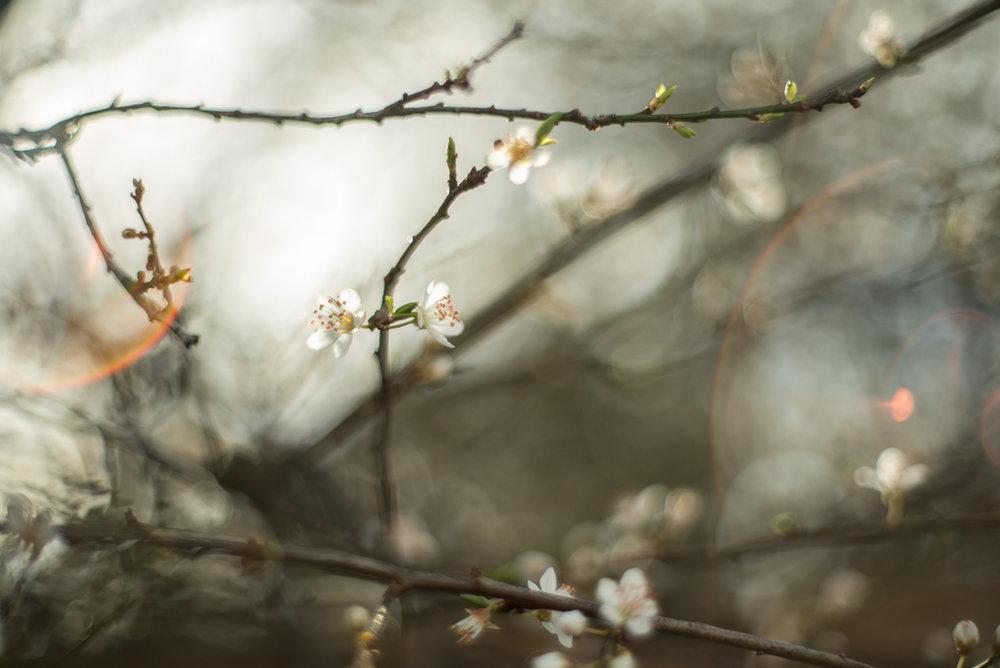 Fine-art-blossom-and-lens-flare