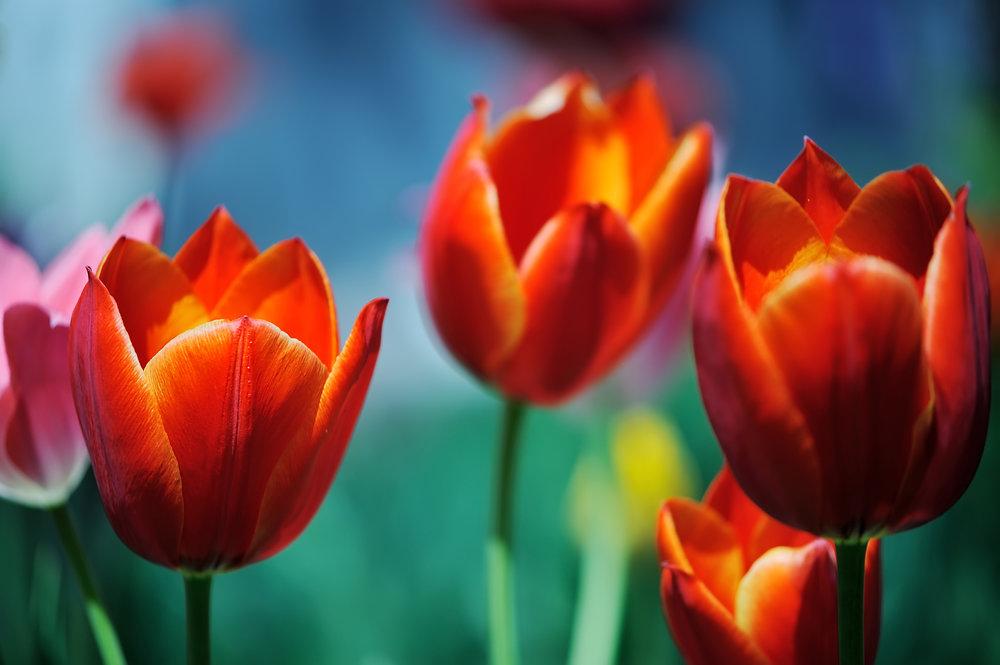 tulips.jpeg-1.jpg