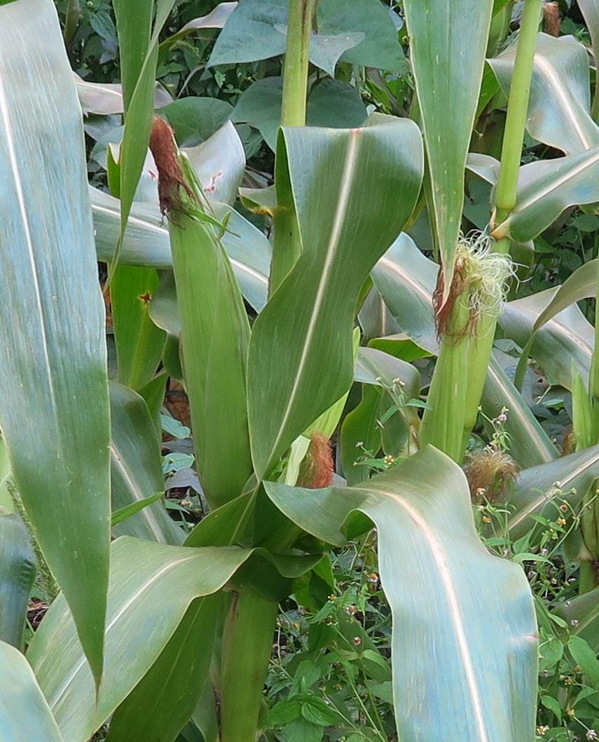 corn up close.jpg
