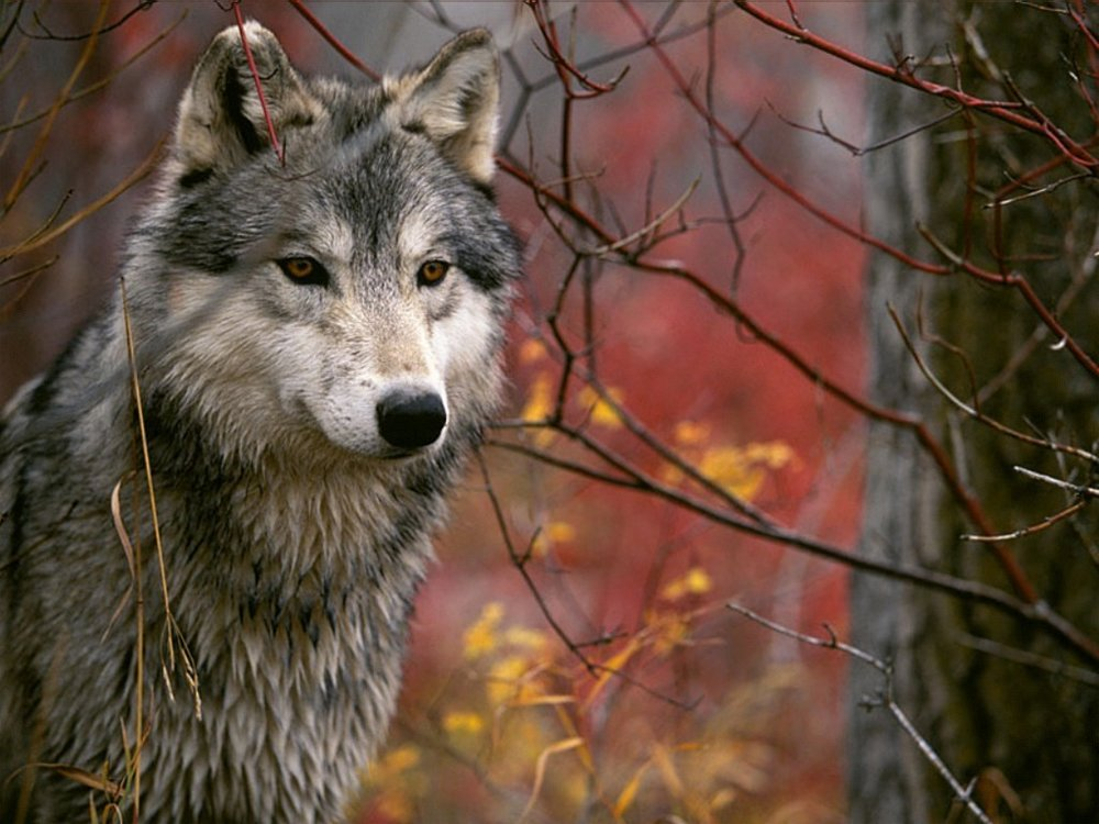 Wolf-dianas-wolf-pack-16958727-1024-768.jpg