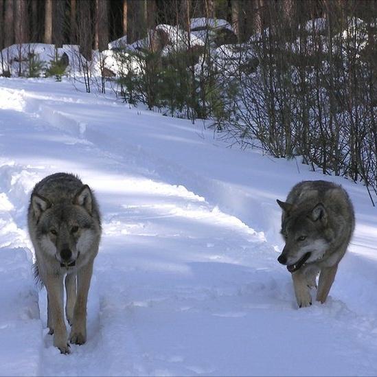 wolves1.jpg
