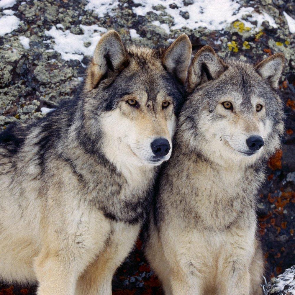 wolves4.jpg