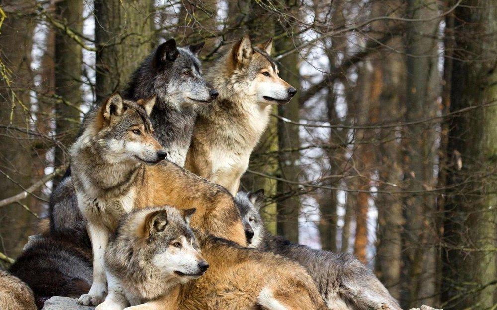 wolves6.jpg