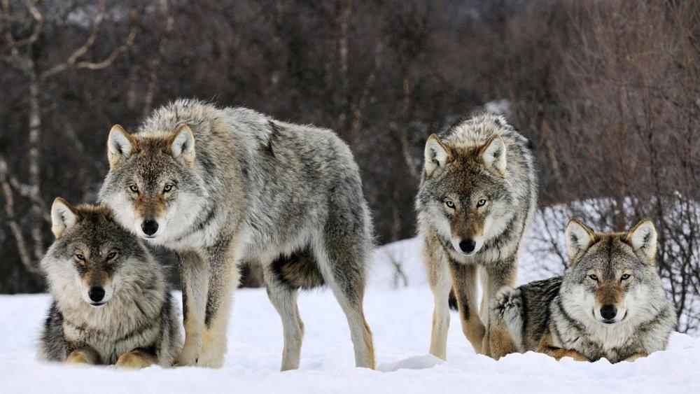 wolves7.jpg