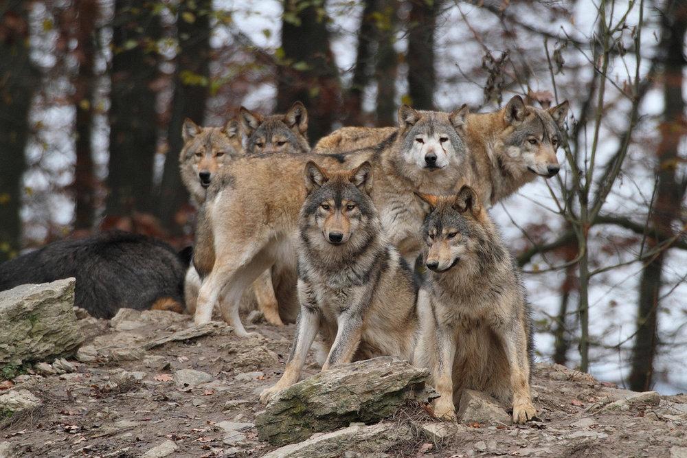 wolves8.jpg