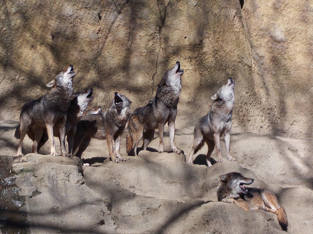 wolves9.jpg