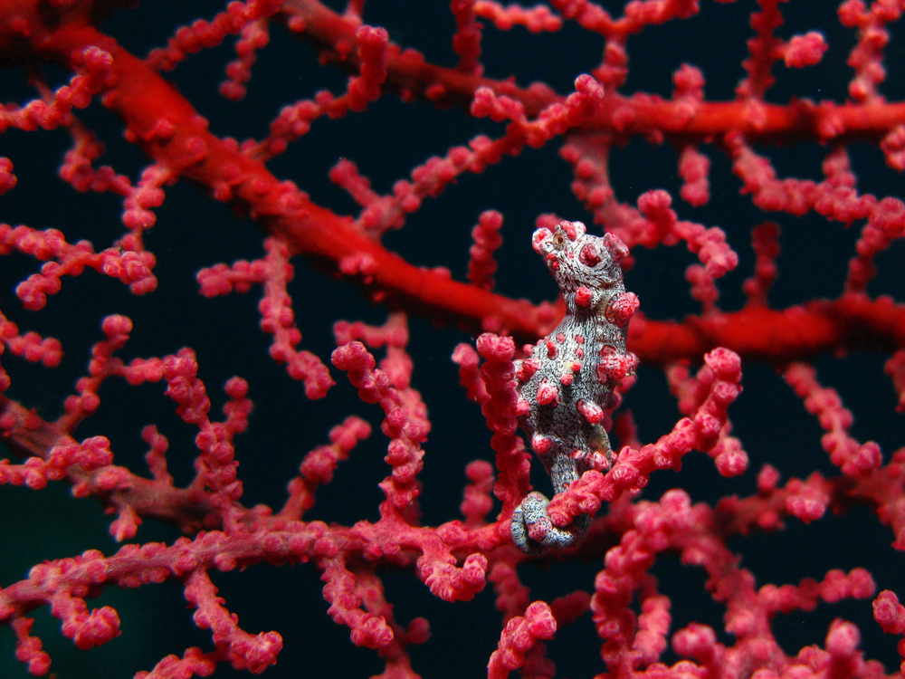 A pygmy seahorse on a coral in Indonesia.