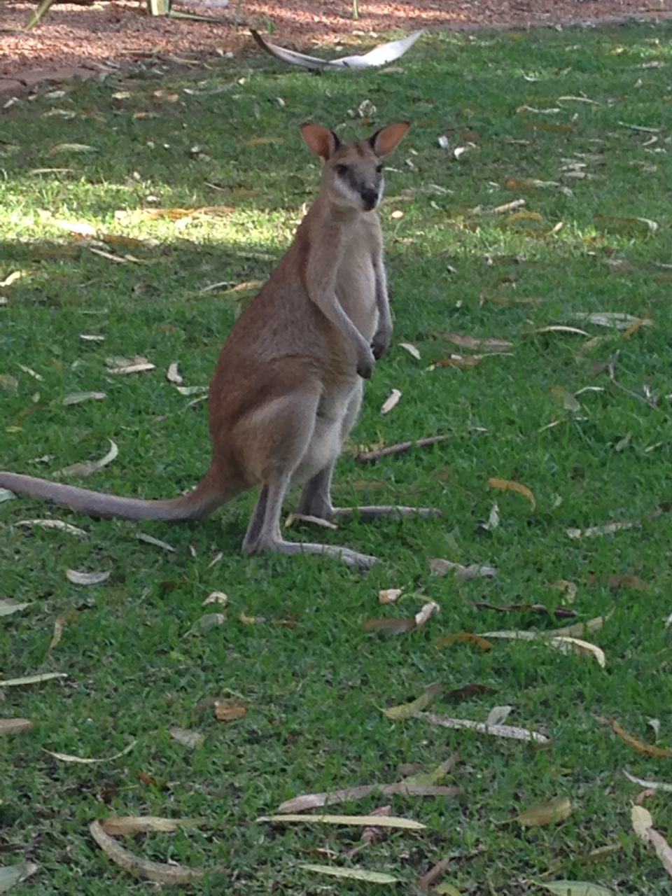 A shy wallaby at the Cable Beach Club Resort