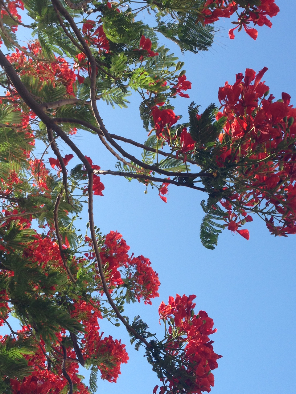 Poinciana blooms