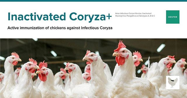 Inactivated Coryza+ Immunize your chickens from Infectious Coryza For further details, contact us at: mail@hester.in