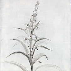 willowherb2 copy.jpg