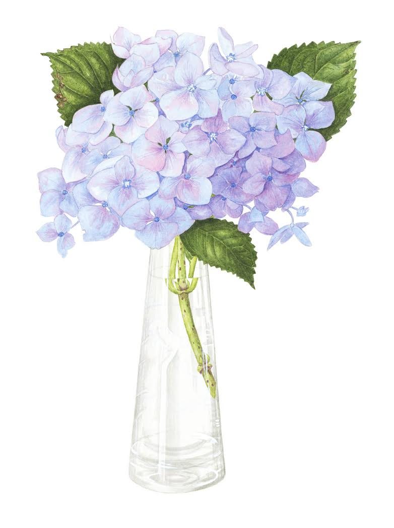 """Blue Hydrangea"". Watercolour by Susan Thomson"