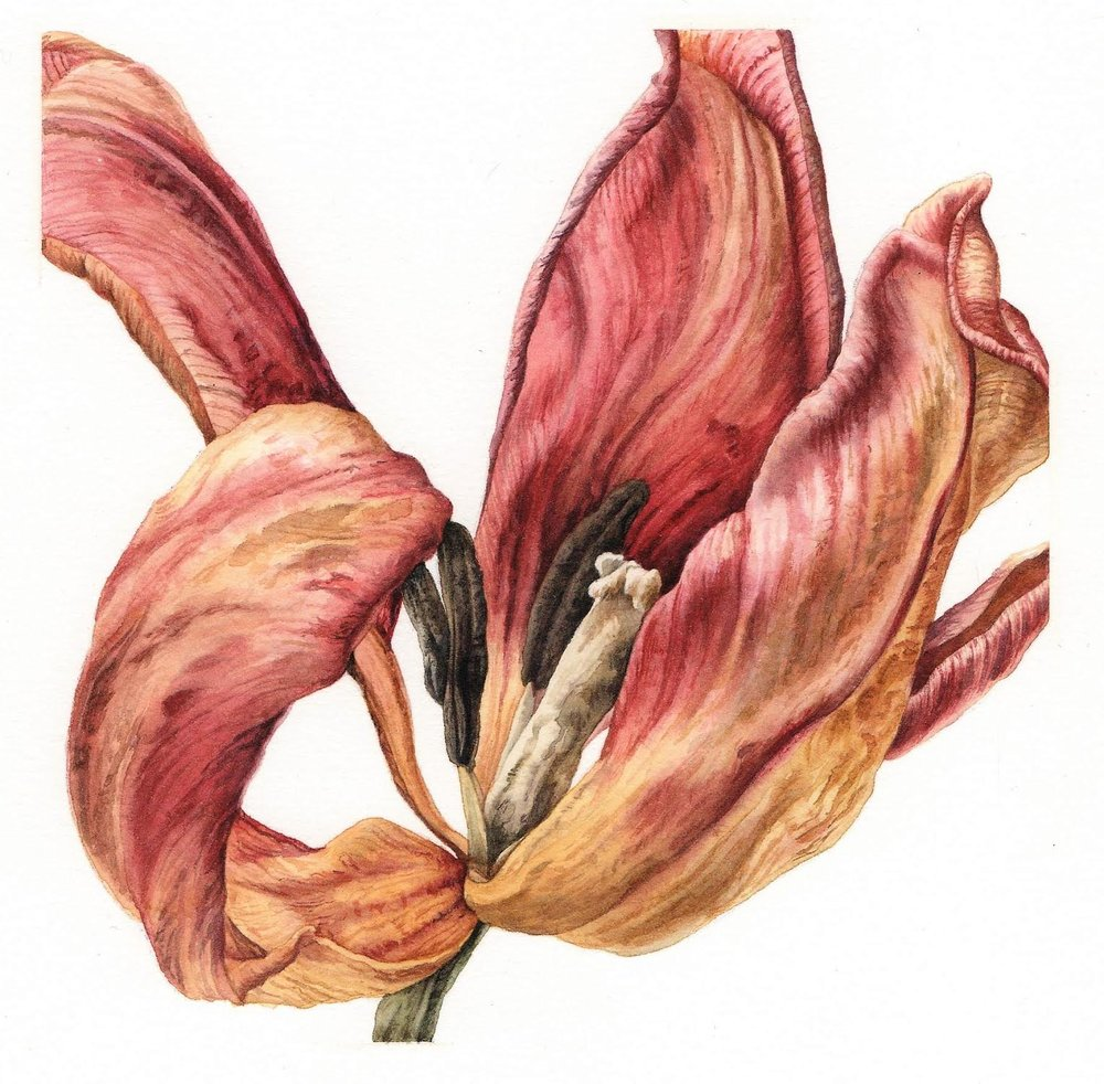 """Desiccated Tulip"". Watercolour by Julia Trickey"