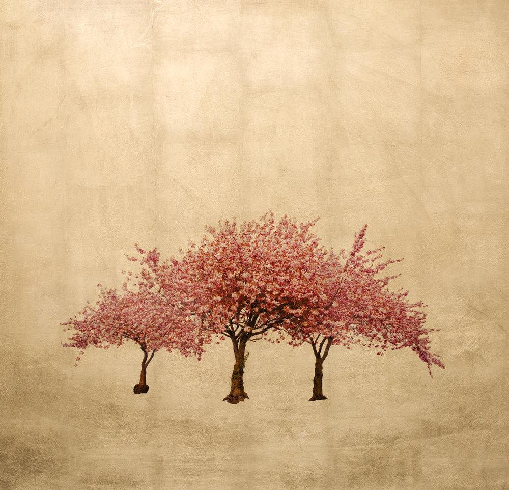 Prunus Serrulata lrg.jpg