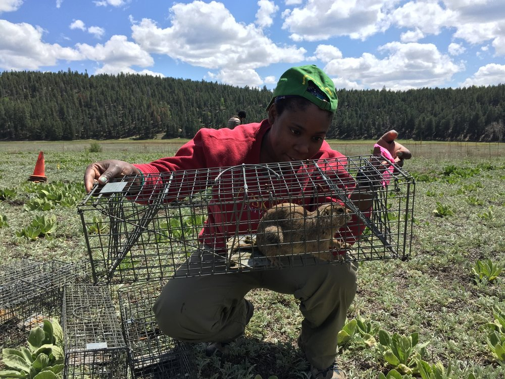 After labeling the trap with flagging tape, squaddie Rashidah takes a close look at a newly captured prairie dog.  ©MRR 2016